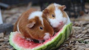 Meerschweinchen im Glück