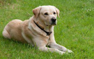 Der Labrador