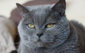 Die Kartäuser-Katze