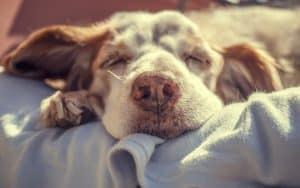Niereninsuffizienz beim Hund