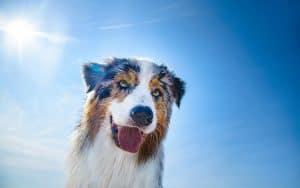 Hitzschlag beim Hund: Lebensgefahr