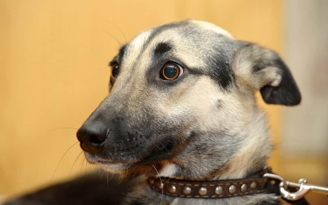 Kontrovers: Kastration bei Hunden